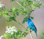Indigo bunting Royalty Free Stock Photo