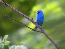Indigo Bunting Bird Royalty Free Stock Image