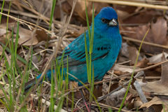 Indigo Bunting. Foraging on the ground Royalty Free Stock Images