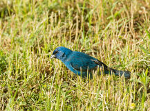 Indigo Bunting looking for seeds in grass Stock Photo