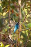 Indigo bunting Passerina cyanea bird forages for food. In the bushes and from a bird feeder in Naples, Florida Royalty Free Stock Image