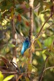 Indigo bunting Passerina cyanea bird forages for food. In the bushes and from a bird feeder in Naples, Florida Stock Photos