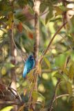 Indigo bunting Passerina cyanea bird forages for food. In the bushes and from a bird feeder in Naples, Florida Royalty Free Stock Photo