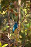 Indigo bunting Passerina cyanea bird forages for food. In the bushes and from a bird feeder in Naples, Florida Royalty Free Stock Photos