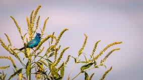Indigo Bunting on green plant Royalty Free Stock Images
