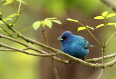 Indigo Bunting, Passerina cyanea Royalty Free Stock Photos