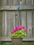 Indigo Bunting perched on a beautiful pink geranium stock image