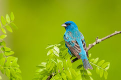 Indigo Bunting. Perched on a branch Stock Photo
