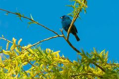 Indigo Bunting - Passerina cyanea. Indigo Bunting perched high up in a tree. Ashbridges Bay Park, Toronto, Ontario, Canada Royalty Free Stock Photography