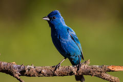 Indigo Bunting. An Indigo Bunting perched in the later afternoon light Royalty Free Stock Photo