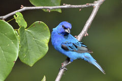 Indigo Bunting perching Stock Photo