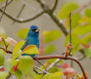 Indigo Bunting in trees. Taken in Cape May Stock Photo