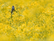 Indigo bunting in yellow field royalty free stock photo