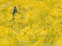 Indigo bunting in yellow field Royalty Free Stock Photo