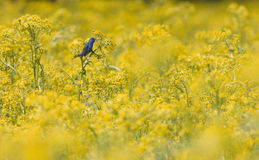 Indigo bunting in yellow field. An indigo bunting perches on a farm field filled with yellow plants in rural Illinois royalty free stock photo