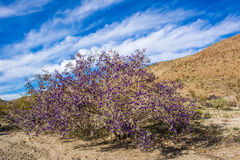 Indigo Bush de Mojave Photographie stock libre de droits
