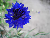 Indigo flower Royalty Free Stock Photos