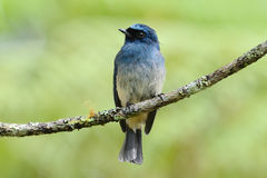 Indigo Flycatcher Royalty Free Stock Images