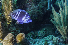 Indigo Hamlet. In Belize Barrier Reef stock photos