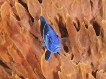 Indigo Hamlet in Front of a Barrel Sponge. Indigo Hamlet (Hypoplectrus indigo) in Front of a Barrel Sponge - Roatan, Honduras stock images