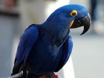 Indigo Macaw 4. Beautiful Indigo blue hycanith macaw Stock Image