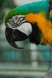 Indigo Macaw (Anodorhynchus leari). Photographed in Legnica's orangery Royalty Free Stock Photo