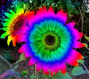 Multicoloured sunflowers, photographed at Golden Gate, South Africa