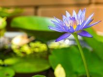 Indigo purple lotus in the pond. Background blur Stock Photography