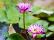 Indigo purple lotus in the pond. Background blur Royalty Free Stock Images