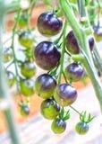 Indigo-Rose Black-Tomatenrebe reif im Garten lizenzfreie stockbilder