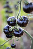 Indigo Rose Black tomato Stock Photo