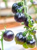 Indigo Rose Black tomato vine ripe in the garden. This type bred from red tomatoes and purple tomatoes are rich in anthocyanins, high antioxidant slows the Stock Photography