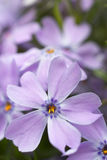 Indigo - violet flowers. Royalty Free Stock Photos