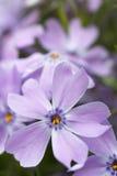 Indigo - violette bloemen. Royalty-vrije Stock Foto's