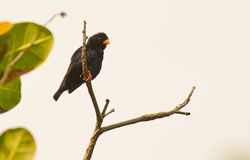 indigobird αρσενικό χωριό κλαδίσκ&om Στοκ Εικόνες
