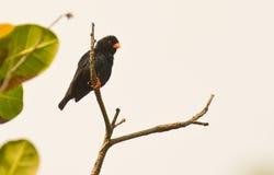 indigobird męska gałązki wioska Zdjęcie Stock
