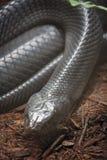 Indigoblå orm Arkivbild