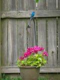 Indigobunting op een mooie roze geranium wordt neergestreken die stock afbeelding