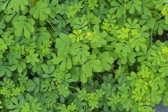 Indigofera tinctoria basma in garden.