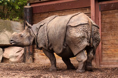Indinan Rhinoceros Adult. Adult africa african animal armour asia baby endangered folded hide horn horned indian mammal national one park powerful rare rhino stock photo