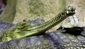 Indio de Gavial (gangeticus del Gavialis) en parque zoológico Fotos de archivo libres de regalías