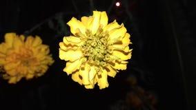 Indio de la flor de la maravilla Fotos de archivo libres de regalías