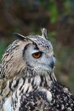 Indio Eagle Owl Imagen de archivo libre de regalías