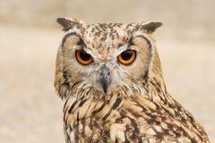 Indio Eagle Owl Fotografía de archivo libre de regalías