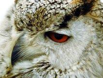 Indio Eagle Owl Foto de archivo