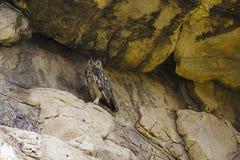 Indio Eagle Owl, bengalensis del bubón Bera, Rajasthán, la India foto de archivo