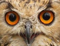 Indio Eagle Owl Profile de los ojos Fotografía de archivo libre de regalías