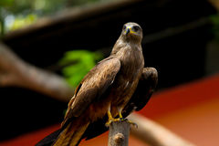 Indisch Bevlekt Eagle Stock Afbeeldingen