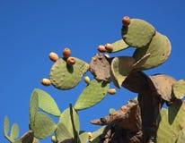 Indisch fig., cactuspeer stock afbeeldingen