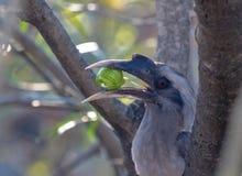Indisch Grey Hornbills die het fruit kauwen stock afbeeldingen